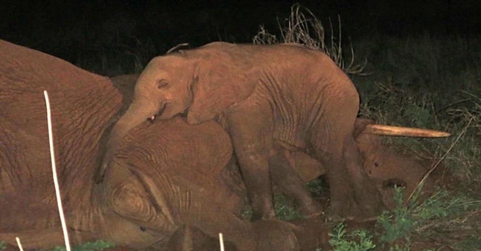 14.mai.2014 - Veterinários do orfanato de elefantes David Sheldrick Wildlife Trust encontrarm um filhote de cinco meses que ignorava o frio e se recusava a sair do lado do corpo da mãe, em Samburu, no norte do Quênia. A equipe precisou trabalhar durante toda a noite para retirar o elefante que só foi resgatado pela manhã com uma severa desidratação. O filhote recebeu o nome de Sokotei e rapidamente fez amizade com outros órfãos da instituição