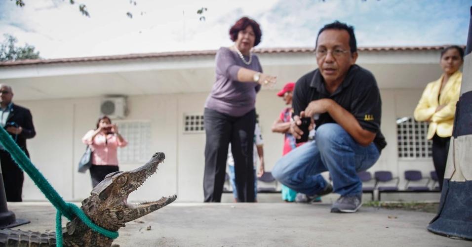 15.mai.2014 - Funcionários da 2ª Vara do Juizado Especial Cível, em Manaus (AM), observam jacaré capturado no estacionamento do edifício, na avenida André Araújo, no bairro Aleixo