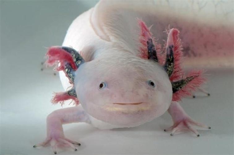 """16.mai.2104 - O """"Ambystoma mexicanum"""" conhecido como axolote é um tipo de salamandra do México que está criticamente em perigo de extinção desde 2006. Ele ocupa uma área de menos de 10 km2 no centro do México, na parte sul da Cidade do México, nos canais de Xochimilco"""