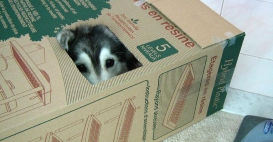 19.mai.2014 - A cachorra Tally é uma mestiça das raças husky e malamute. Além de muito fofa, ela ''é'' uma gata. Não, não no sentindo de bonita: Tally realmente pensa que é uma felina. Segundo sua dona, uma usuária do fórum na internet Reddit, os antigos proprietários da cadela a criaram junto com gatos, daí seu comportamento peculiar