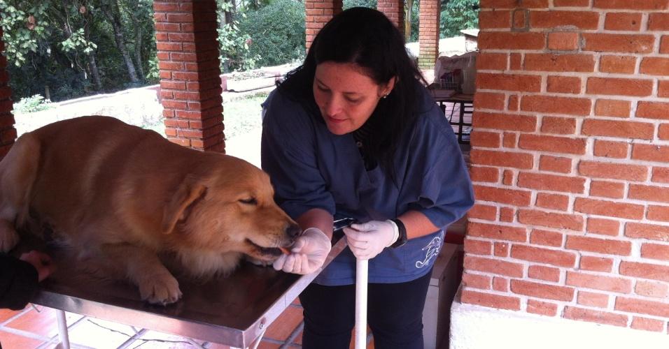 19.mai.2014 - Cachorros doam sangue em São Paulo. Hoje, o número de cães que necessitam de transfusão ultrapassa o de doadores. Cachorros que passaram por cirurgia, foram atropelados ou têm alguma doença, como câncer, são os que mais necessitam