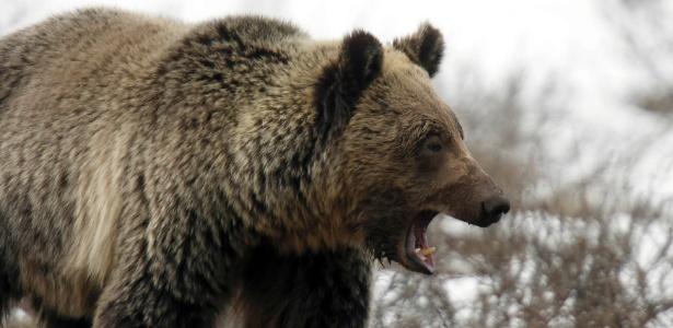 Urso-pardo caminha no Yellowstone National Park. É bom ter cuidado - Jim Urquhart/Reuters