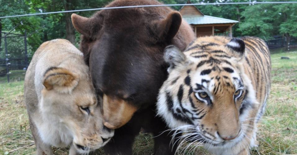 22.mai.2014 - Conhecidos coletivamente como o BLT, o urso Baloo, o leão Leo e o tigre-de-bengala Shere Khan, tem uma amizade especial e são os únicos animais destas espécies a compartilharem o mesmo espaço em Atlanta, Geórgia (EUA). Os animais foram encontrados há 13 anos com traficantes de drogas, durante uma ação policial, quando ainda eram filhotes. Para que não fossem separados os três foram entregues ao santuário de animais Arca de Noé, onde se tornaram amigos inseparáveis