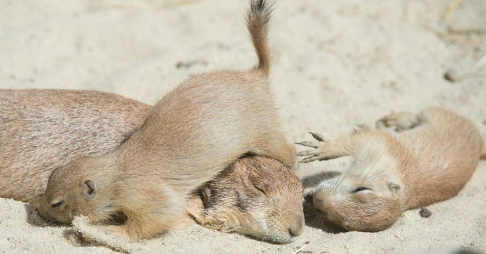 22.mai.2014 - Filhotes de cão-da-pradaria (mamíferos da família dos esquilos) brincam em zoológico de Hannover, na Alemanha
