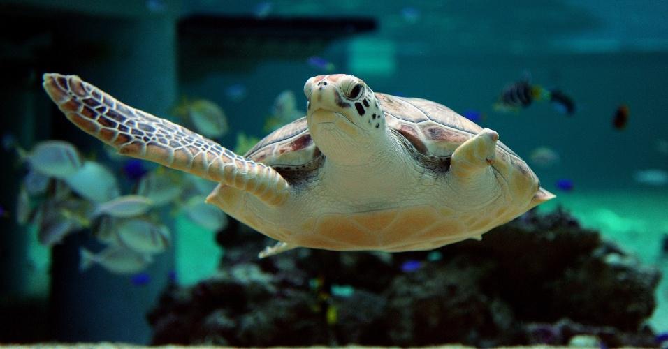 23.mai.2014 - No Dia Mundial da Tartaruga, celebrado nesta sexta-feira (23), Sea Biscuit nada no aquário Oceanworld Manly, em Sidney, na Austrália. O animal tem dois anos de idade e foi resgatado em 2011 gravemente ferido. A tartaruga perdeu uma das nadadeiras e precisou aprender a mergulhar com apenas três