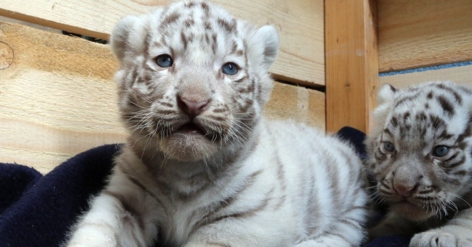 26.mai.2014 - Dois filhotes de tigres-de-bengala brancos são fotografados nesta segunda-feira (26). Eles e mais três irmãos nasceram no dia 25 de abril no White Zoo, em Kernhof, na Áustria, dois anos após a sua mãe dar à luz quatro filhotes
