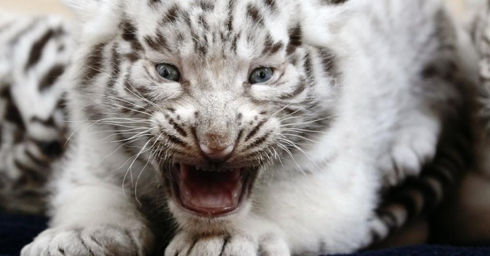 26.mai.2014 - Um filhote de tigres-de-bengala brancos mostra a boca ainda sem dentes nesta segunda-feira (26). Ele é um dos cinco filhotes que nasceram no dia 25 de abril no White Zoo, em Kernhof, na Áustria, dois anos após a sua mãe dar à luz quatro filhotes