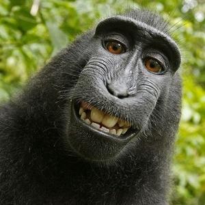 Selfie feita pelo macaco Naturo com a câmera do fotógrafo profissional David Slater