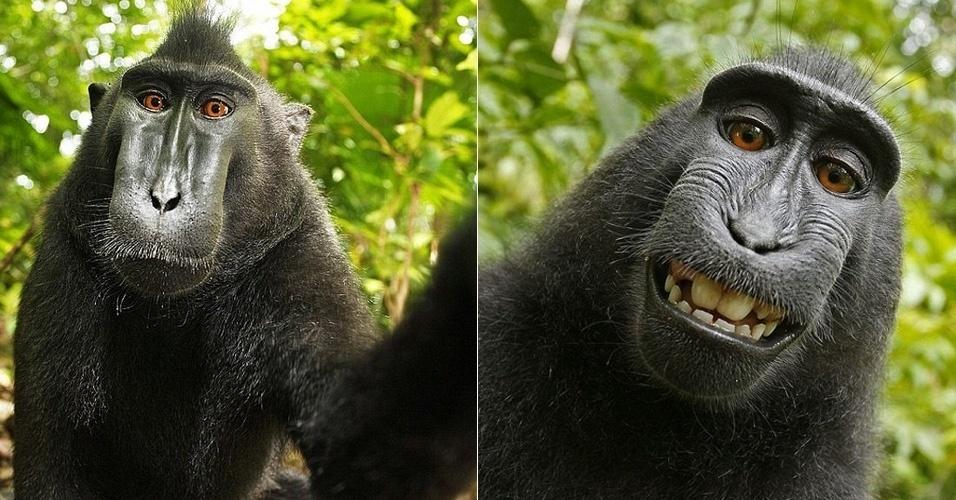 O macaco acima faz parte de uma seleção do ''Daily Mail'' com os melhores selfies de animais. Segundo reportagem de 2011 publicada no ''Telegraph'', a foto foi registrada na Indonésia, com a câmera do fotógrafo profissional David Slater. Ele contou que os primatas se encantaram com seus reflexos e também com o barulho feito a cada clique - por isso exploraram o equipamento do profissional, criando uma série de selfies