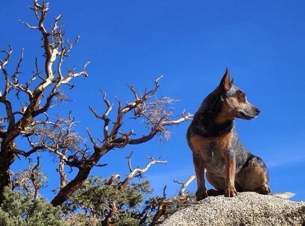 """29.mai.2014 - A cadela Whisper, de quatro anos de idade, mostra que não tem medo de altura e é capaz de """"escalar"""" uma montanha sozinha! O animal se tornou o primeiro cachorro a saltar de base jump no mundo"""
