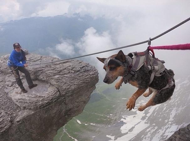29.mai.2014 - A cadela Whisper foi levada para o alto da montanha da montanha Eiger, na região dos Alpes Berneses, na Suíça, por uma espécie de tirolesa. O animal se tornou o primeiro cachorro a saltar de base jump no mundo