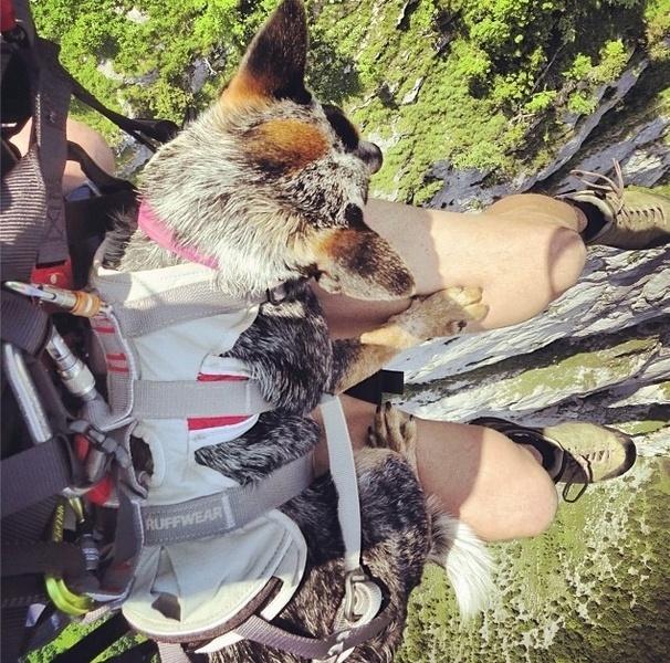 29.mai.2014 - Corajosa, a cadela Whisper olha para baixo mesmo que os seus pés não estejam exatamente no chão, aliás, bem longe disso! O animal se tornou o primeiro cachorro a saltar de base jump no mundo