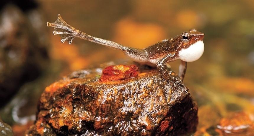 2.jun.2014 - Alguns sapos sapateiam para chamar atenção durante época de acasalamento. Uma pesquisa feita durante 12 meses em uma cadeia de montanhas de 1.600 km na costa oeste da Índia encontrou 14 novas espécies de sapos, incluindo este ?sapo dançarino?. A descoberta foi publicada no dia 8 de maio no Ceylon Journal of Science, e dobra o número de espécies do gênero Micrixalus, um grupo de sapos conhecidos por seus movimentos de dança