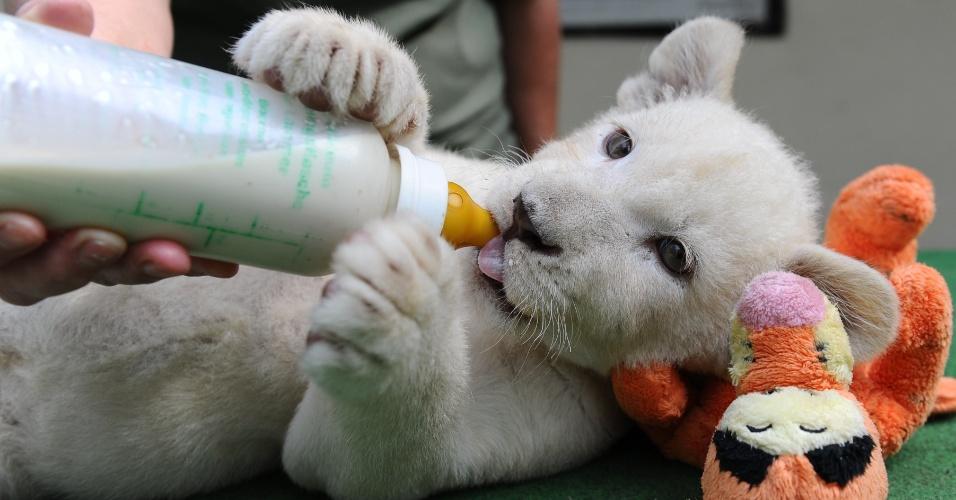 3.jun.2014 - A filhote de leão branco Nala bebe leite de uma mamadeira, deitada ao lado de um bichinho de pelúcia, em sua nova casa em Abony, na Hungria, nesta terça-feira (3).  Ela e o irmão, ambos com oito meses de idade, são considerados um dos animais mais raros do planeta. Eles nasceram no dia 1º de abril de 2014, no norte da Itália, mas foram levados no mês passado para um zoológico particular na cidade húngara, a 90 quilômetros de Budapeste