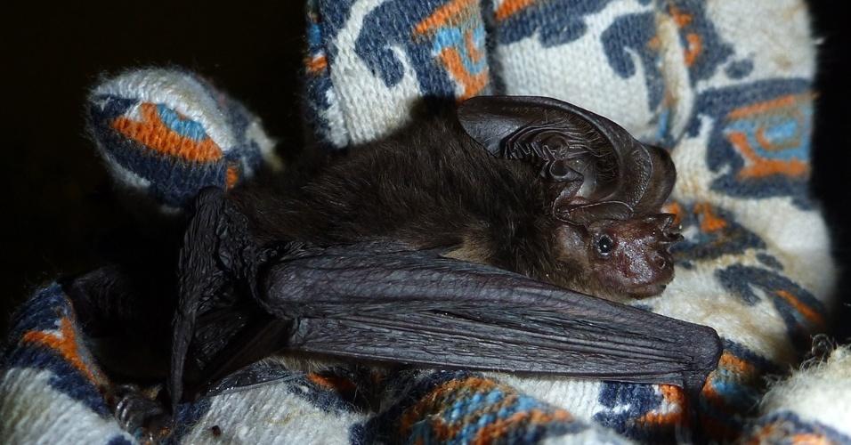 5.jun.2014 - Uma espécie de morcego de orelhas grandes é melhor do que o Batman quando o assunto é se esconder. Após 120 anos voando fora do radar dos cientistas, essa espécie que vive no pacífico reapareceu, surpreendendo cientistas que acreditavam na sua extinção. Estudantes da Escola de Agricultura e Ciências da Alimentação da Universidade de Queensland, na Austrália, capturaram um desses morcegos raros em uma missão de campo em Abau, distrito costeiro de Papua-Nova Guiné. O animal foi identificado pelo pesquisador Luke Leung. Trata-se de um Pharotis Imogene, que não havia sido relatado desde os primeiros e únicos espécimes encontrados em 1890