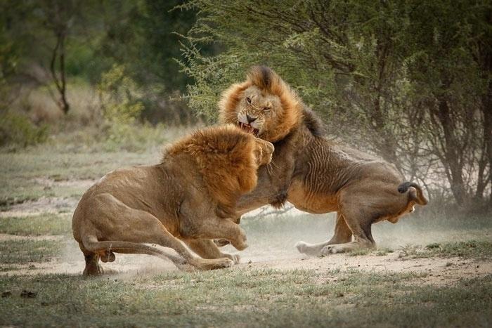 11.jun.2014 - Dois leões disputam o direito de acasalar com as fêmeas na reserva de Londolozi, na África no Sul. O vencedor se torna o líder do grupo
