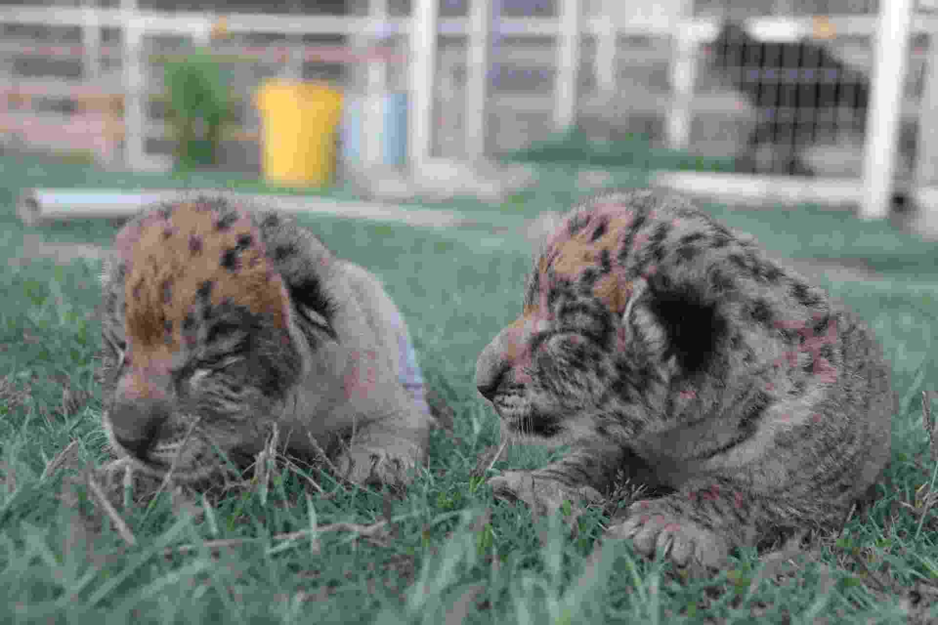 16.jun.2014 - Dois filhotes de liligres nascidos em um zoológico particular em Oklahoma, nos Estados Unidos, são uma excessão à regra de que animais híbridos não são capazes de se repoduzir. Eles são fruto do cruzamento entre o leão Simba e a ligre (híbrida de uma tigre e uma leoa) Akara e nasceram saudáveis no dia 31 de maio deste ano - Divulgação/ The JW Zoo