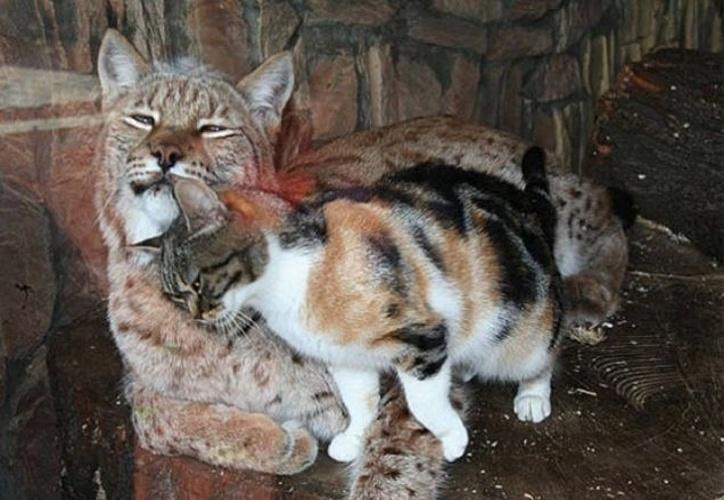 17.jun.2014 - Uma gata de rua foi procurar comida na jaula de um lince no zoológico de São Petersburgo, na Rússia. Em vez de virar ''picadinho'', a gatinha acabou virando melhor amiga do animal selvagem. Segundo a rede ''Kfor'', o zoo adotou a gata e agora ambos vivem na mesma jaula. Clique em MAIS para assistir aos dois bichanos juntos