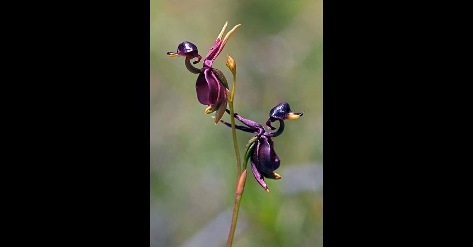 18.jun.2014 - A natureza tem surpresas incríveis: as flores trazem formas e cores que as fazem parecer com bichos e até gente. Acima, a orquídea Caleana Major, que se parece com patos