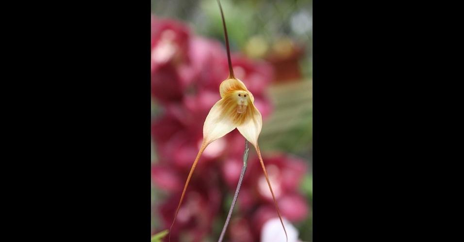 18.jun.2014 - A natureza tem surpresas incríveis: as flores trazem formas e cores que as fazem parecer com bichos e até gente. A orquídea Dracula Simia parece um macaco