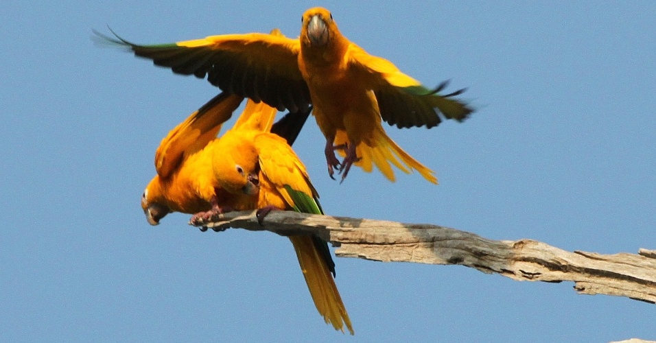 18.jun.2014 - Ararajuba (Garuba garouba) é uma das 47 espécies de aves provavelmente extintas da região metropolitana de Belém desde 1812. O banco de dados foi construído a partir de dados históricos de espécimes coletadas e de observações publicadas por diversos naturalistas, como o inglês Alfred R. Wallace. Nenhum indivíduo de qualquer uma das 47 espécies foi avistado na região depois de 1975