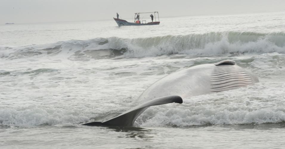 23.jun.2014 - Uma baleia foi encontrada encalhada na Praia do Molhe, em São Francisco do Sul, litoral norte de Santa Catarina, na manhã desta segunda-feira (23). O mamífero foi visto por pescadores que atuam no local. O animal está próximo à sede da Petrobras no município. Biólogas do projeto Toninhas confirmaram que o animal já estava morto quando foi localizado pelos pescadores. De acordo com a bióloga Camila Sartori, a baleia tem cerca de sete metros. Camila acredita que a baleia seja da espécie Minke