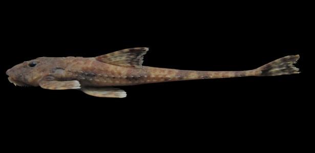 """O bagre """"Rinelonicaria sp"""" encontrado em Cubatão, se diferencia dos outros por não ter placas ósseas no abdome - Assessoria de Comunicação/Universidade Santa Cecília"""