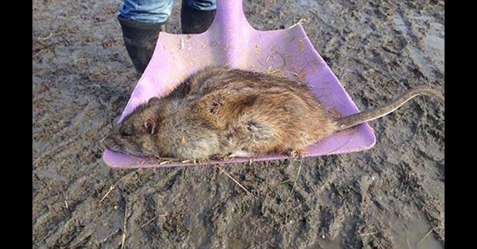 25.jun.2014 - Uma nova raça de ratazanas, imunes a venenos comumente usados no combate a roedores graças a uma mutação genética, está se espalhando no Reino Unido segundo cientistas. Acima, ratazana gigante capturada em Gravesend, no condado de Kent (Reino Unido)