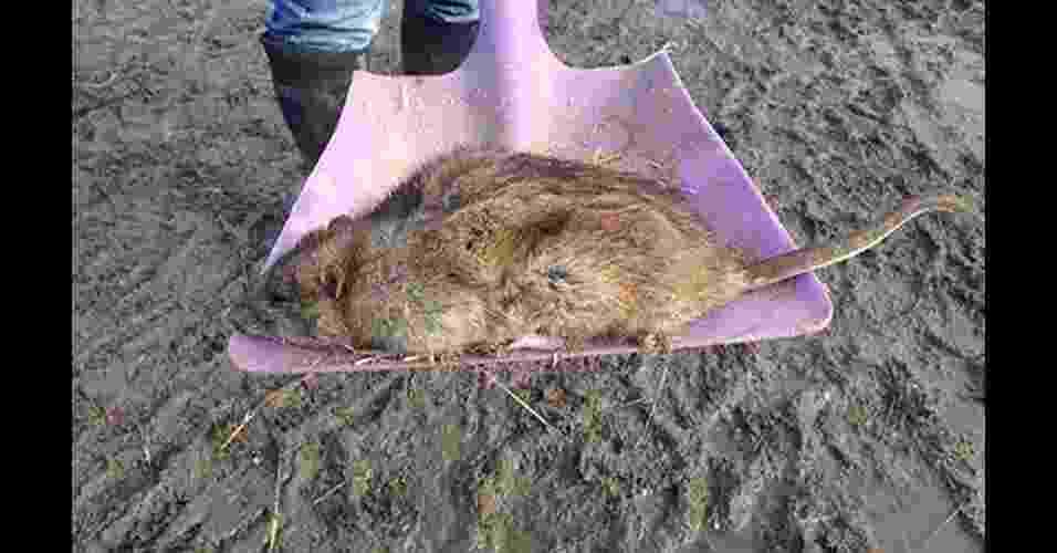 25.jun.2014 - Uma nova raça de ratazanas, imunes a venenos comumente usados no combate a roedores graças a uma mutação genética, está se espalhando no Reino Unido segundo cientistas. Acima, ratazana gigante capturada em Gravesend, no condado de Kent (Reino Unido) - Reprodução/Daily Mail