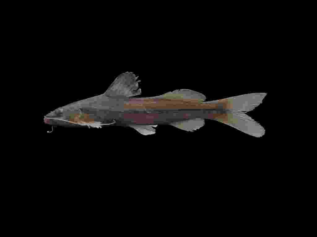 25.jun.2014 Pesquisadores de uma universidade Santa Cecília, em Santos (SP), descobriram duas espécies de peixes em rios da cidade e de Cubatão. O estudo, que teve duração de dois anos, identificou o bagre 'Pimelodella sp' (foto) e o bagre 'Rinelonicaria sp' - Assessoria de Comunicação/Universidade Santa Cecília