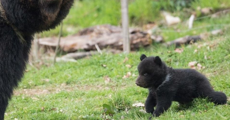 26.jun.2014 - O zoológico Dählhölzli, em Berna, na Suíça, matou um filhote de urso de cinco meses de vida com boa saúde (à dir.) porque ele sofria 'bullying' de seu pai. A medida provocou protestos de grupos de defesa animal