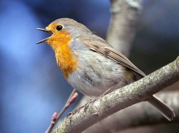 """27.jun.2014 - Novo estudo sugere que aves cantam mais cedo devido a confusão de horário. Ornitólogos observaram seis espécies comuns de aves para ver como a luz artificial e o barulho do trânsito afetam suas canções diárias. Depois de gravá-los ao amanhecer e ao anoitecer em vários ambientes, os pesquisadores descobriram que, enquanto o ruído tem pouco efeito sobre eles, a """"poluição"""" luminosa pode alterar o tempo de suas canções. Por exemplo, em áreas com luz noturna mais artificial, emitida por lâmpadas de rua, pássaros das espécies tordo europeu (na imagem) e melro podem começar a cantar mais cedo do nascer do sol em até uma hora e trinta minutos. O efeito não foi tão forte ao anoitecer, alguns pássaros só cantaram cerca de 10 minutos mais tarde do que o habitual. A descoberta foi publicada esta semana em Behavioral Ecology"""