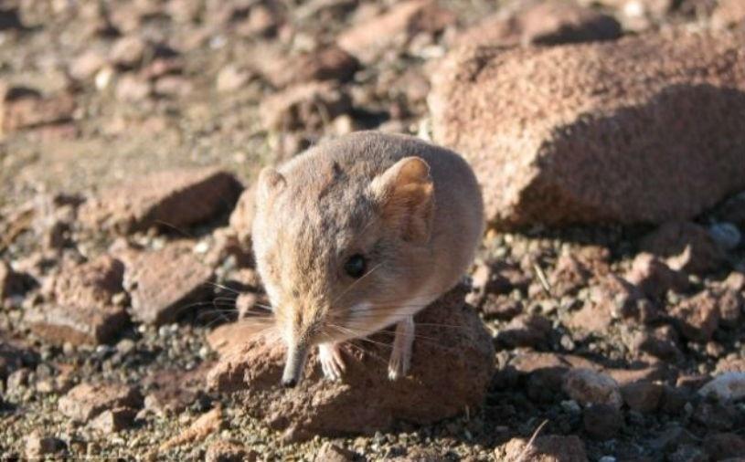 """27.jun.2014 - Uma nova espécie de musaranho, mamífero da ordem Soricomorpha, foi descoberta no deserto da Namíbia. Embora o animal seja parecido com um rato, o seu DNA compartilha mais com os elefantes, tendo uma tromba em miniatura e cabelo cor de ferrugem, segundo o Daily Mail. Apelidado """"Macroscelides Micus"""", o mamífero vive em uma região isolada do sudoeste da África, razão pela qual não foi descoberto antes"""