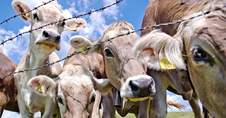 27.jun.2014 - Vacas se aglomeram atrás de uma cerca de arame farpado em um prado próximo a Staltannen, na Alemanha