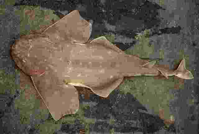 2.jul.2014 - O cação-anjo (Squatina occulta) distribui-se do Rio de Janeiro (24ºS) até a Argentina, em profundidades de 10 m a 350 m. Um dos motivos quecontribui para a espécie estar seriamente ameçada de extinção é o longo ciclo reprodutivo da fêmea, que realiza o parto apenas uma vez a cada 4 ou 5 anos da sua vida adulta - Reprodução/ fishbase.org