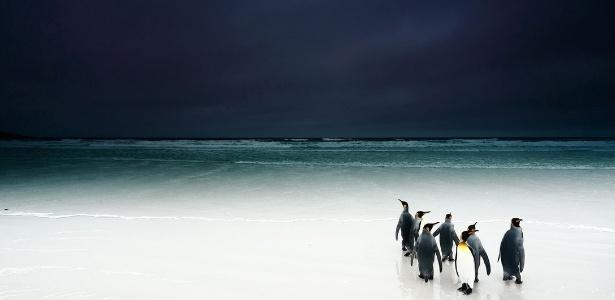 Há apenas 1,6 milhão de casais de pinguim-rei no mundo