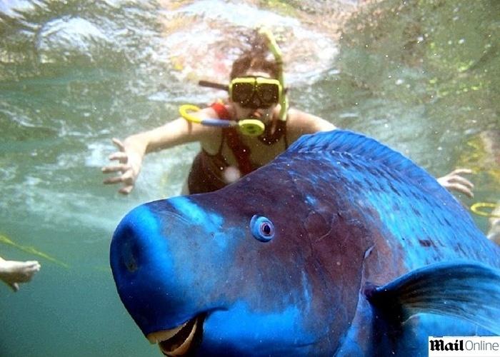 Sophia Roth mergulhava em Key West (Flórida, EUA) em julho de 2014, quando foi surpreendida por um enorme peixe azul. Segundo o ''Daily Mail'', o animal ''sorridente'' apareceu bem na hora do clique, protagonizando um simpático photobomb. ''É uma das minhas fotos favoritas'', afirmou Sophia