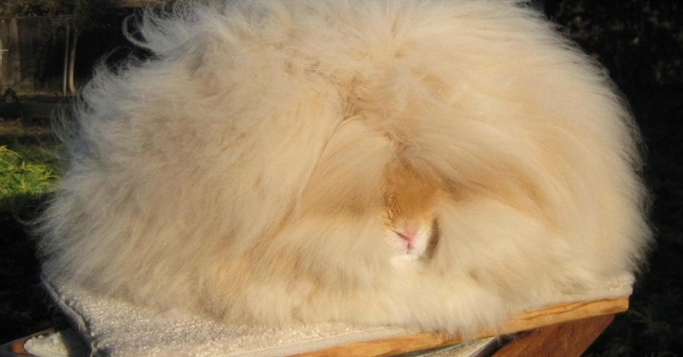 10.jul.2014 - Os coelhos angorás são conhecidos pela pelagem fofa que pode chegar a 25 cm. Betty Chu (foto) é uma das criadoras desse tipo de coelho nos Estados Unidos -- apesar do tamanho, ela afirma que eles não pesam ''mais de 3 kg''. À esquerda, está um coelho depois de ser tosado; à direita, a quantidade de pelos tirados dele. Betty usa a pelagem extraída para fazer luvas, chapéus e lenços