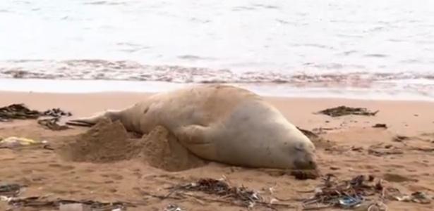 Elefante marinho encalhado na praia de Farol de Santa Luzia foi batizado de Fred - Reprodução/TV
