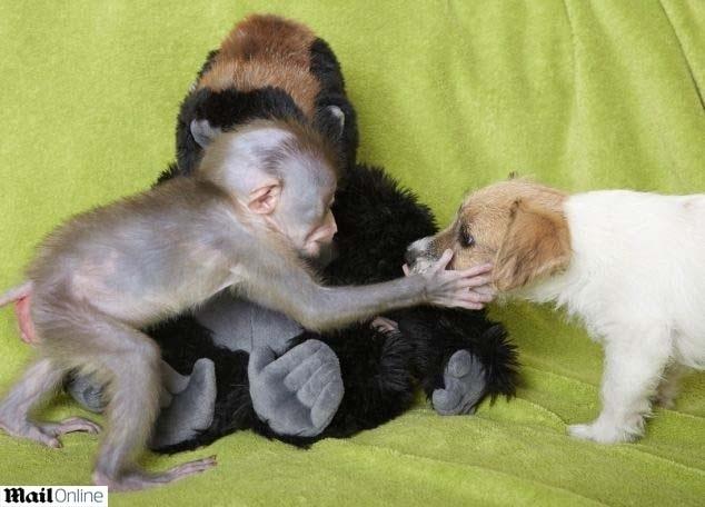 13.jul.2014 - O pequeno Mubi, um macaco de broca africano, encontrou um lar depois de ser rejeitado pela mãe na reserva Port Lympne, em Kent, Reino Unido. Simon Jeffrey, um dos funcionários da reserva acolheu o macaco, que logo fez amizade com a cadela Daisy que se tornou sua protetora e amiga
