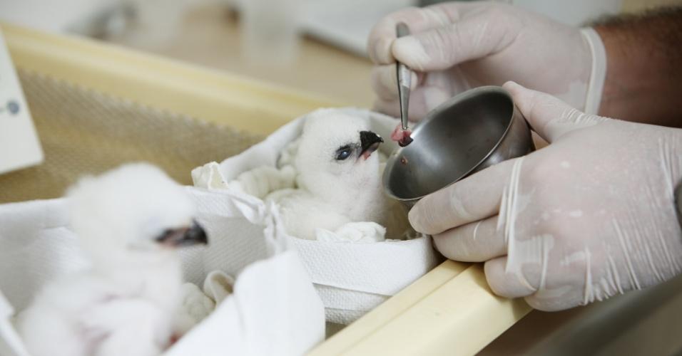 Filhotes de hárpia (gavião real) são alimentados no Refúgio Biológico Bela Vista, no leste do Paraná, onde nasceram em cativeiro. O refúgio foi criado nos anos 70 para diminuir o impacto ambiental causado pela usina de Itaipu