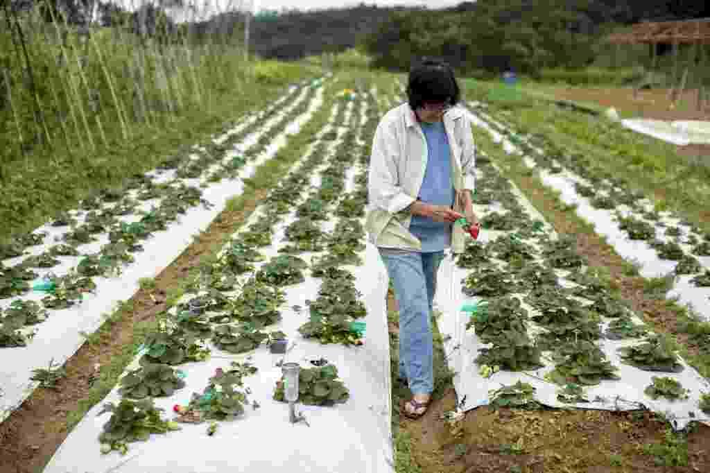 """21.jul.2014 - A agricultora Massue Shirazawa, 71, em frente ao seu canteiro de morango. Ela se orgulha de seus tomates e de seus morangos, produzidos sem o uso de agrotóxicos. """"É saboroso, tem o gosto da própria fruta"""", afirma - Leonardo Soares/UOL"""