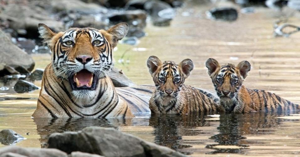 24.jul.2014 - Ao contrário de outros felinos, tigres são bons nadadores e costumam se refrescar em lagos e riachos durante o calor do dia