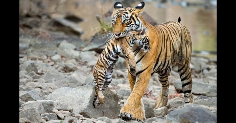 """24.jul.2014 - """"Estive a 2 metros de distância de um tigre. Eles não te veem como comida se você está em um carro, te deixam quieto"""", diz Rouse"""