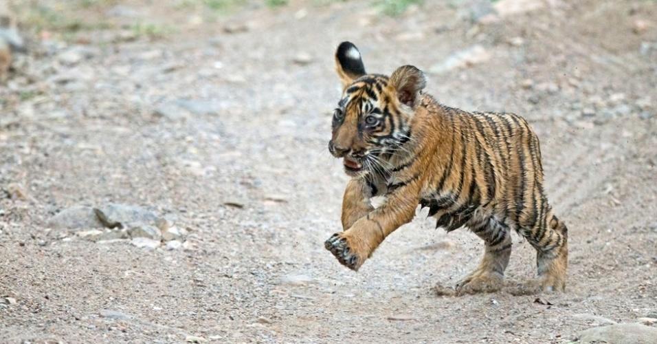 24.jul.2014 - Milhares de tigres-de-bengala, os tipos mais numerosos de tigres, costumavam habitar Bangladesh, Butão, Índia e Nepal, mas os números caíram dramaticamente nas últimas décadas