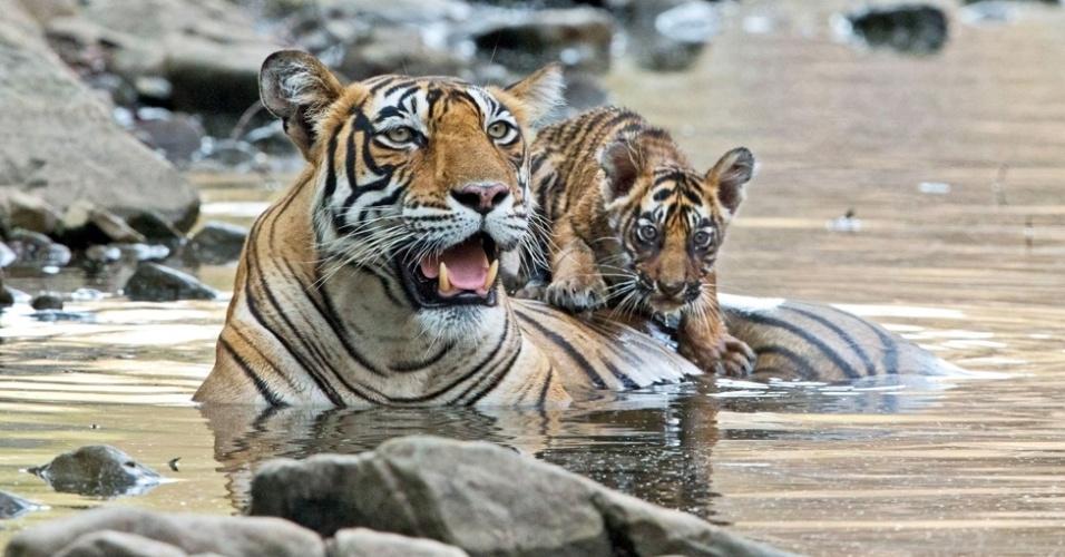 24.jul.2014 - O calor chegava a 44ºC no Rajastão quando Rouse, há dois dias em uma trilha, conseguiu as fotos que queria. A mãe tigre, chamada Noor, tinha filhotes de três meses, mas eles ficavam em uma caverna deserta no Parque Nacional de Ranthambore
