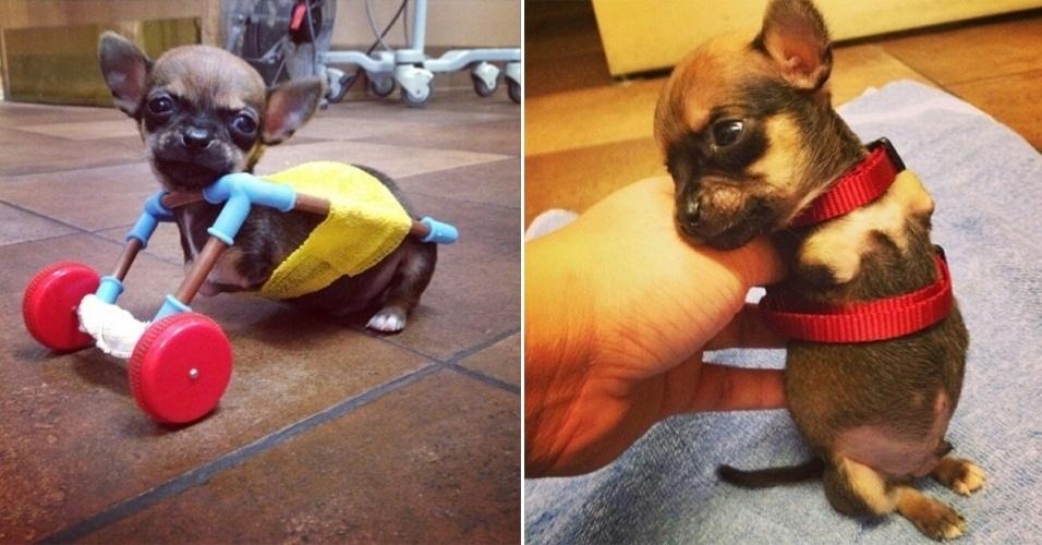 24.jul.2014 - O cãozinho Turbo, um chihuahua que nasceu sem as duas patas dianteiras, consegue andar com uma espécie de 'cadeira de rodas' feitas com partes de um kit de helicóptero de brinquedo. A ideia foi de uma equipe de veterinários de Indianápolis (EUA). A veterinária Amy Birk diz que a peça permite que Turbo exercite as patas traseiras como parte de sua fisioterapia. O cãozinho já tem até Instagram (http://instagram.com/turbo.rooo)