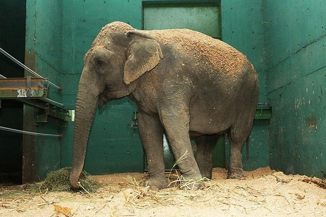 25.jul.2014 - O bosque e zoológico Fábio Barreto, em Ribeirão Preto (313 km de São Paulo), recebeu uma nova hóspede: a elefanta indiana Bambi, que estava em Leme (188 km de São Paulo)