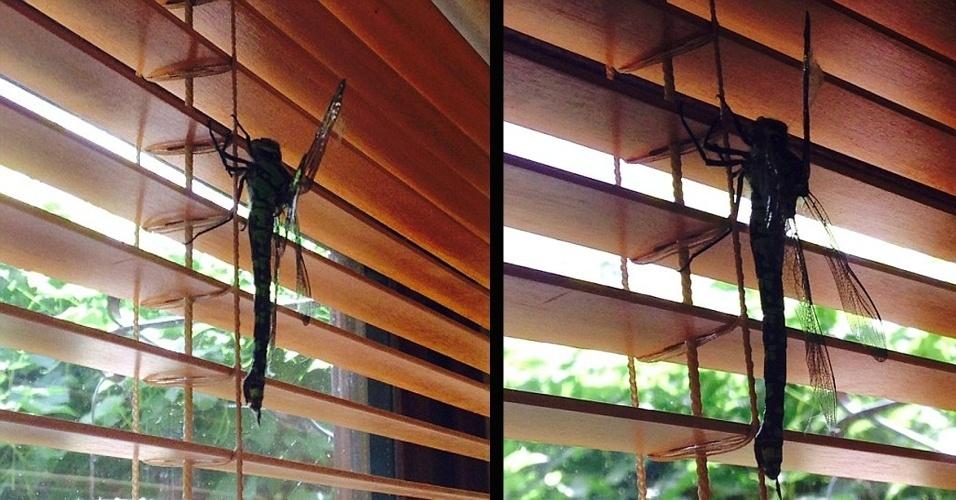 28.jul.2014 - A britânica Rowena Wilkinson, 53, diz que levou um susto ao ver uma libélula gigante ? de aproximadamente 20 cm de comprimento -- na persiana de sua sala. ''Escutei minha filha gritar e então vi essa libélula voando muito rápido.'' Apesar do susto, Rowena esperou o animal ir embora sozinho. No Reino Unido, segundo o ''Daily Mail'', há cerca de 30 espécies de libélula