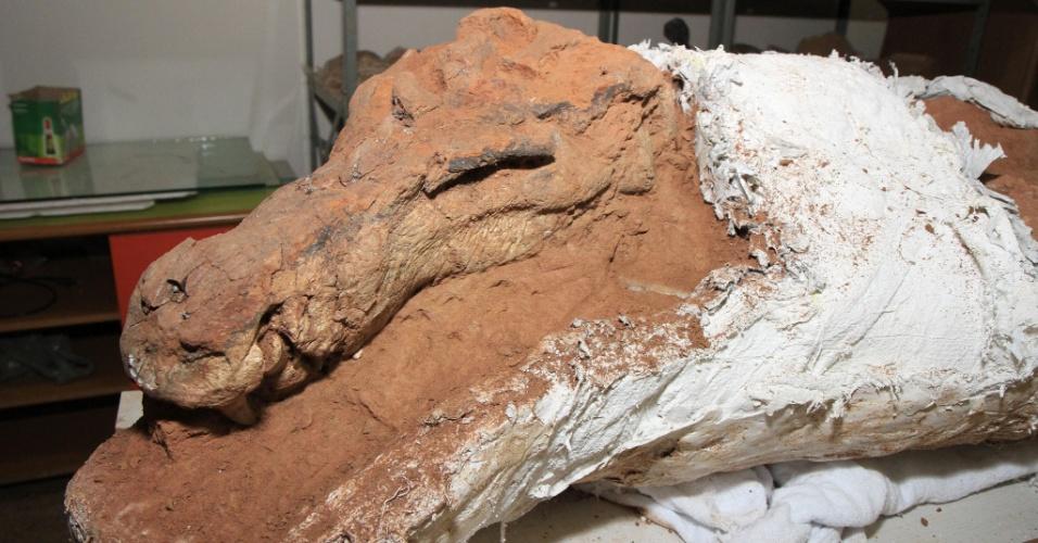 1º.ago.2014 - Um fóssil de uma nova espécie de crocodiliforme baurusuquídeo, de tamanho grande, que competia com os dinossauros terópodes (carnívoros), foi encontrado no Triângulo Mineiro. O crânio do animal tinha 38 cm de comprimento e ele possuía uma dentição altamente especializada para hábitos carnívoros. Além do crânio, também foi encontrada a maior parte do esqueleto do fóssil. A espécie foi descoberta na região de Campina Verde, em Minas Gerais, nas rochas do período Cretáceo Superior (aproximadamente 90 milhões de anos atrás). De acordo com os pesquisadores, este é o maior crocodiliforme encontrado na região mineira